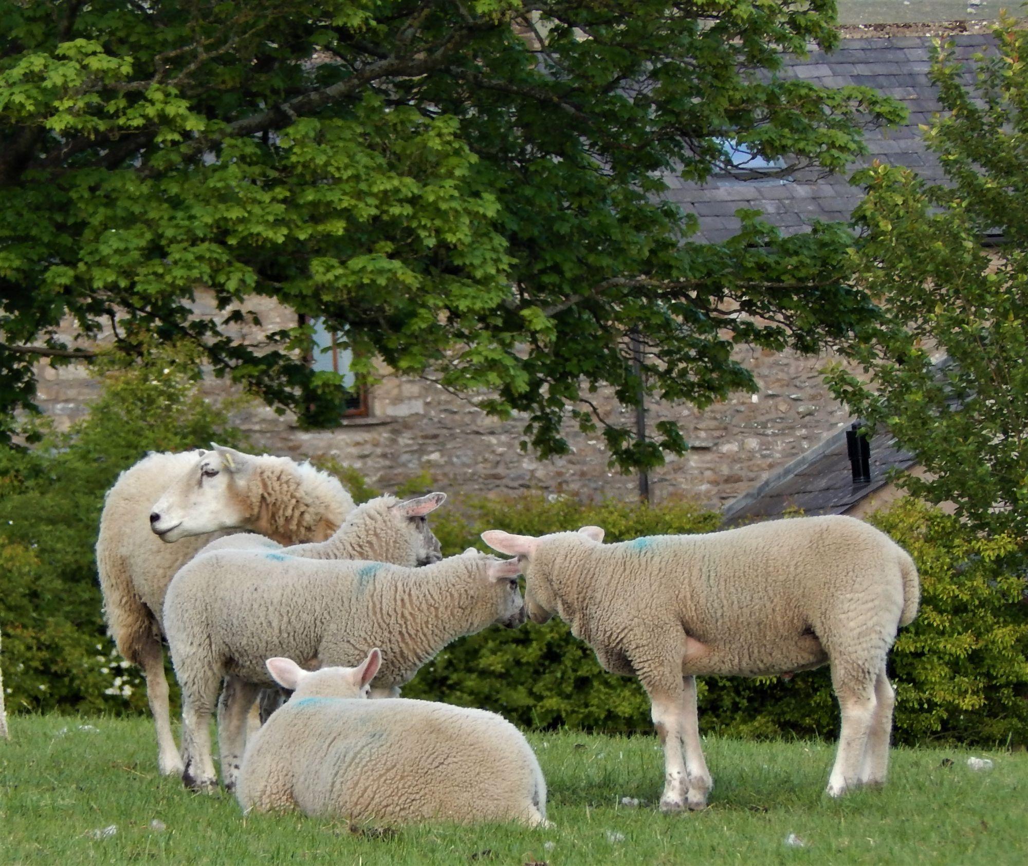 Charollais Beltex lambs at Thornbrook Barn