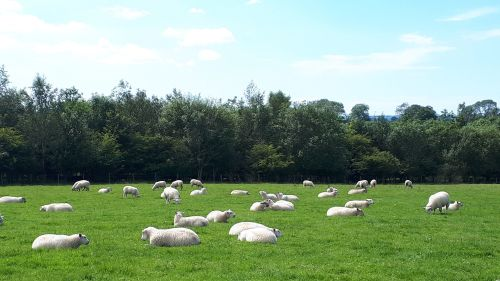 Lambs 2020