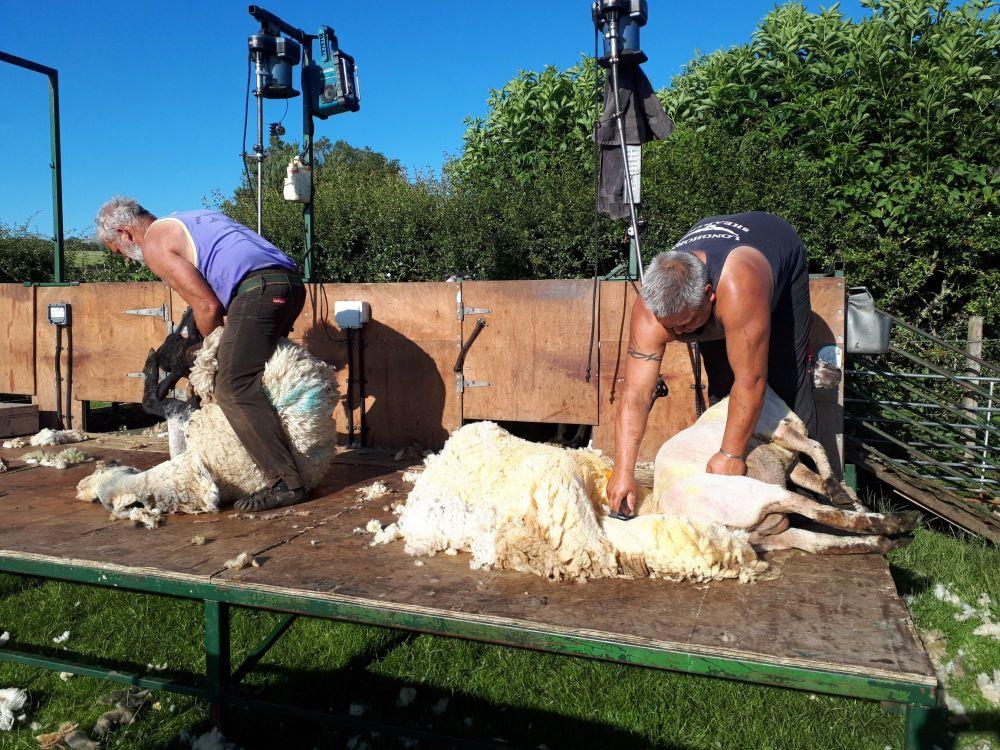 Shearing 2020