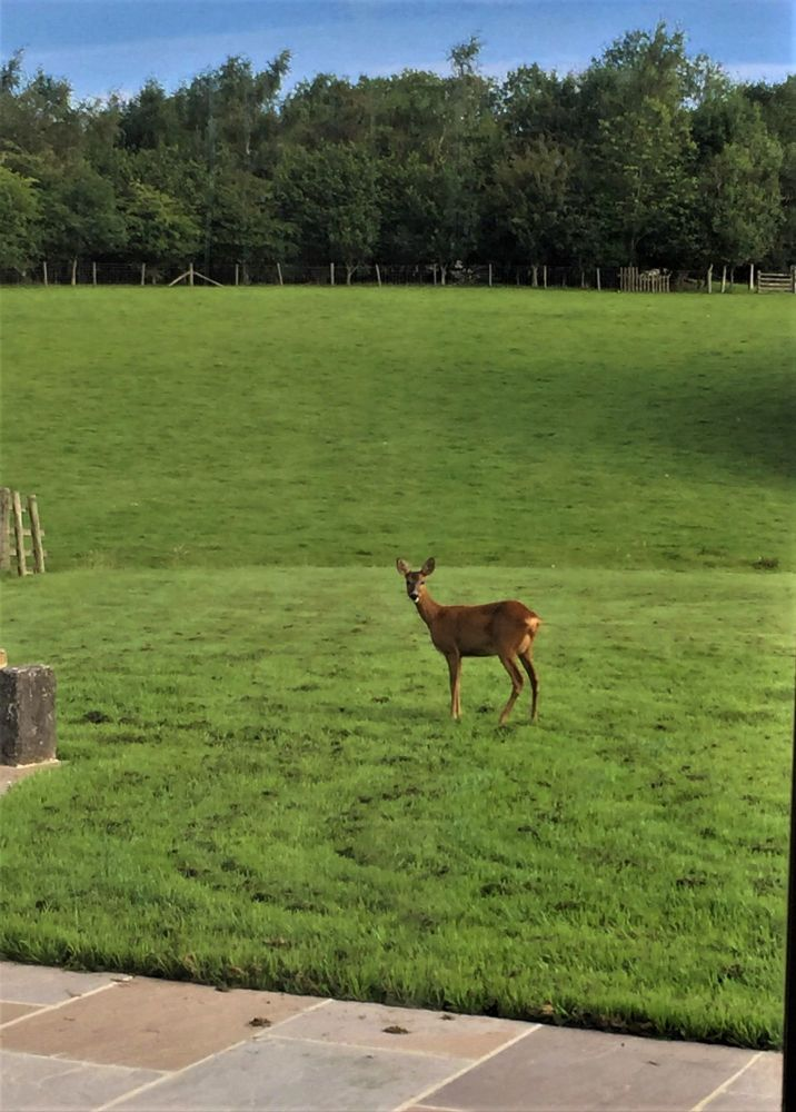 Tracy the deer