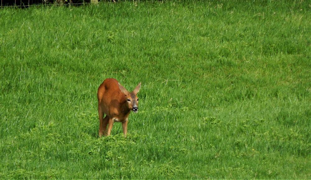 Roe Deer Thornbrook Barn
