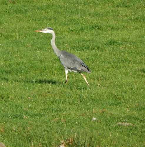Heron at Thornbrook Barn