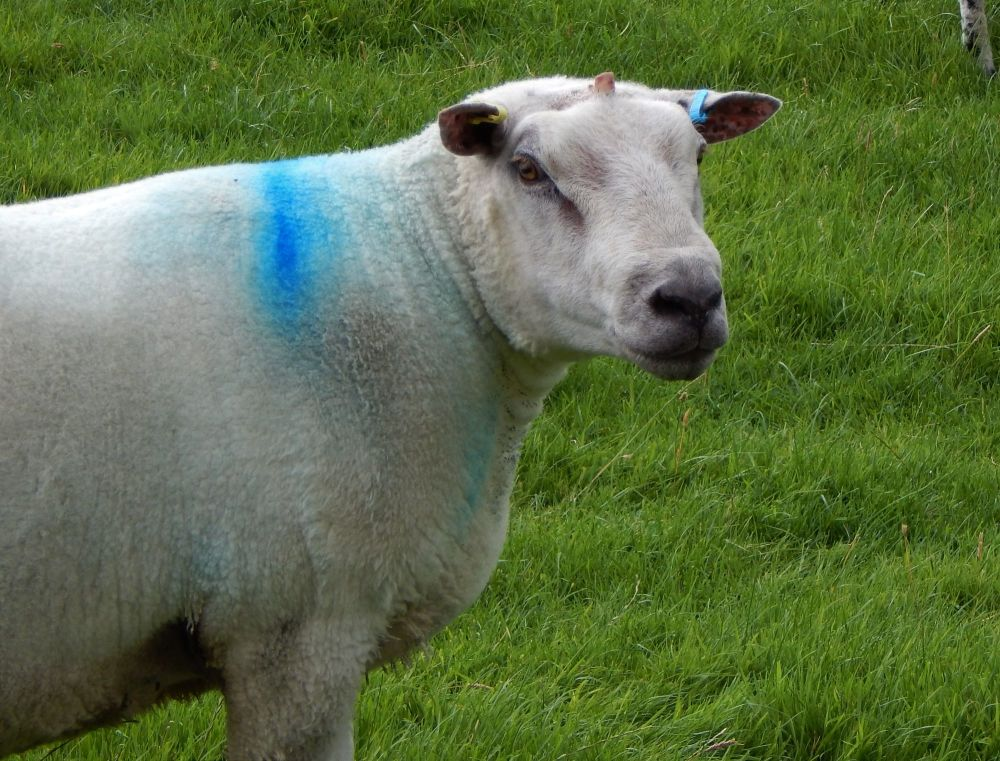 Frank the tup