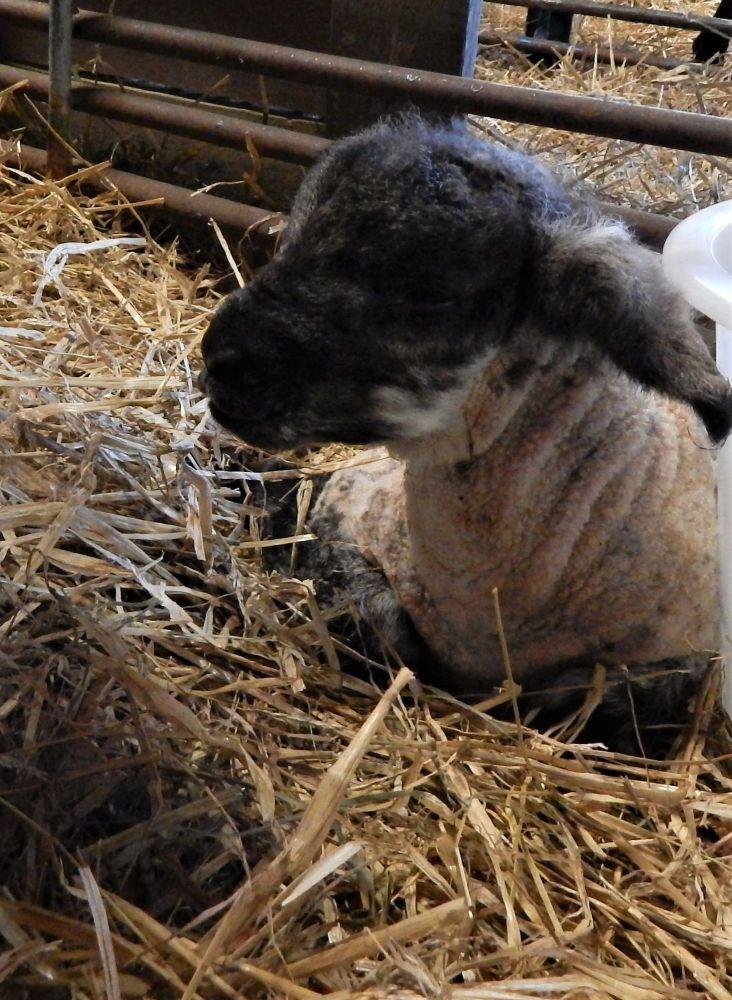 Suffolk Cross lamb