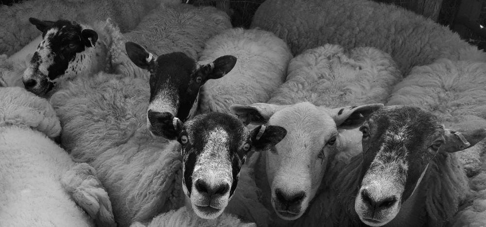 Shearing 2021 1