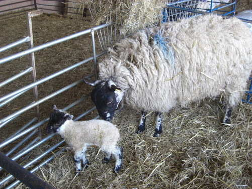 The sheep that lambed lastnight
