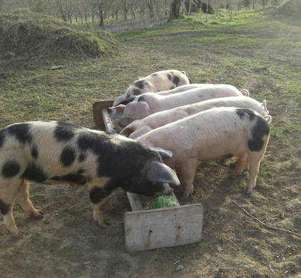 pigs outside