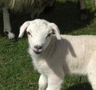 The lamb that was born outside
