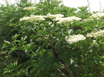 Elderflowers in the Hedge