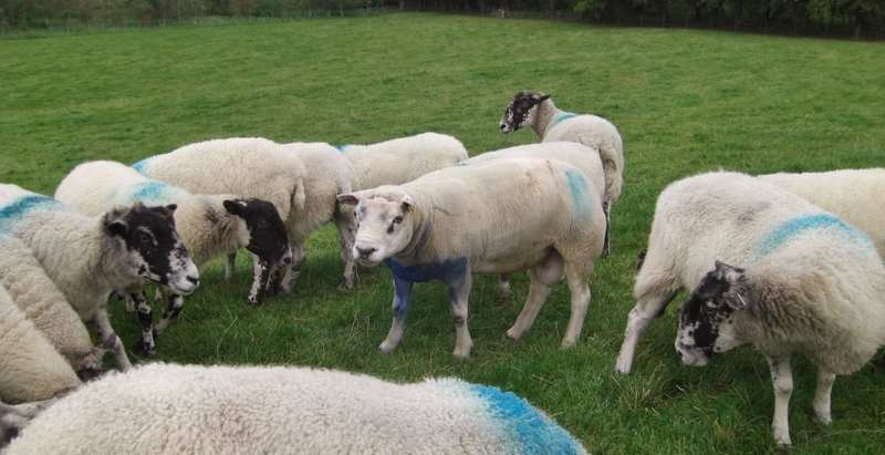 Tup with sheep