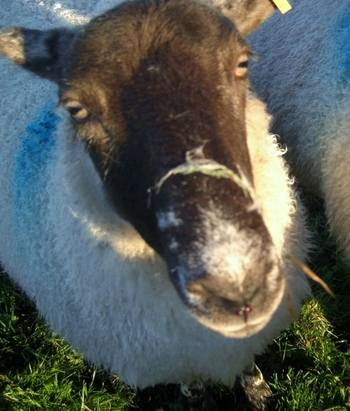 Sheep with Spiders Webs on Nose