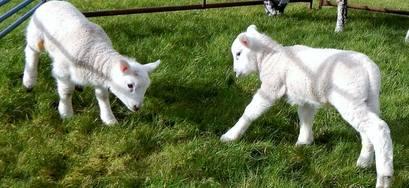 Lambs feb 1