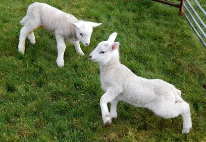 lambs feb 2