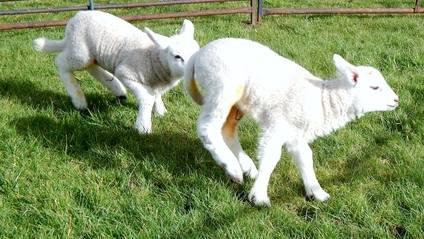 Lambs feb 3