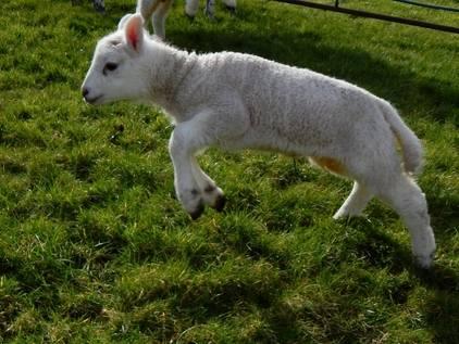 Lambs feb 5