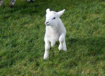 Lambs feb 6
