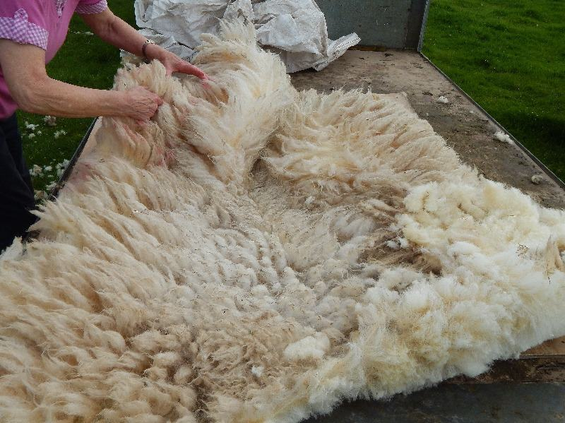 sheep shearing june 2014 016