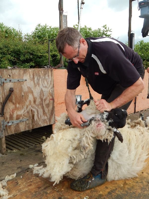 sheep shearing june 2014 014