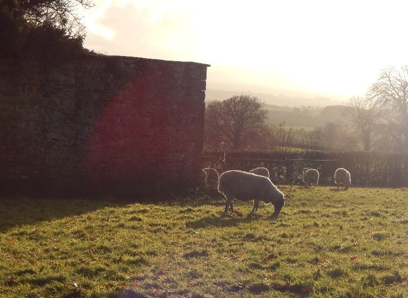 nov 2014 sheep 018
