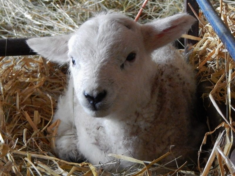 day old lamb sat in pen