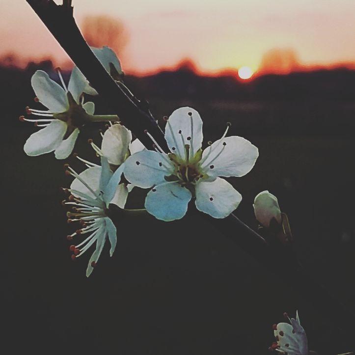Hawthorn at dusk photo