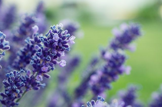 selective-focus-photography-of-purple-lavender-flower-1196313