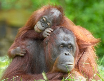 Mother and baby orangutan resting