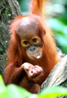 Infant orangutan playing in the forest