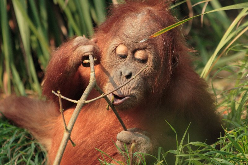 Infant orangutan enjoying eating buds