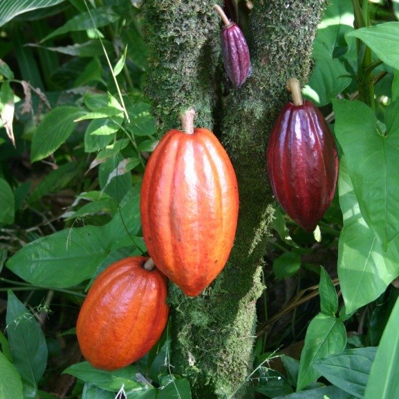 cocoa pods for cocoa butter