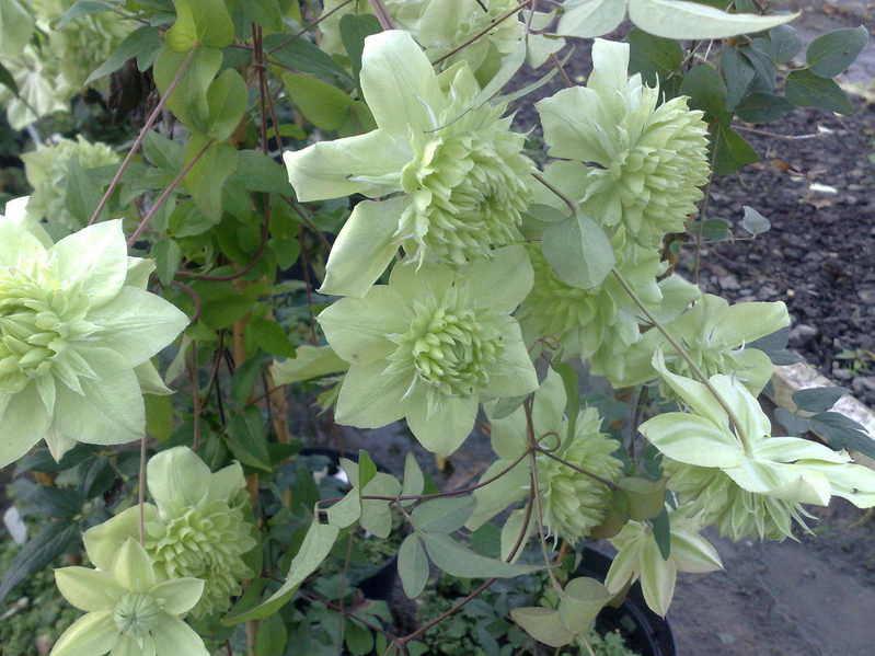 Clematis florida Plena