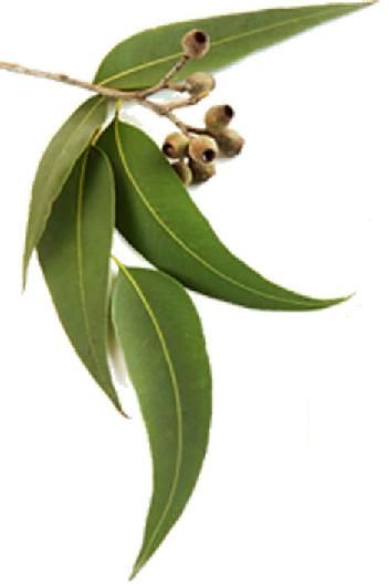 Eucalyptus (Citriodora) 25ml