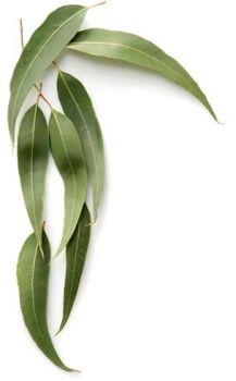 Eucalyptus (Radiata) Oil (2046)