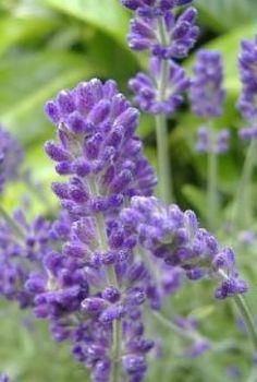 Lavender (Dalmatian) Oil (2066)