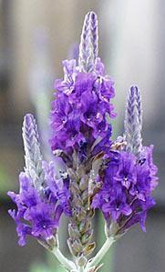 Lavender (Spike) 25ml