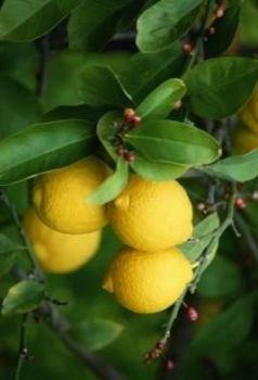 Lemon Oil (2069)