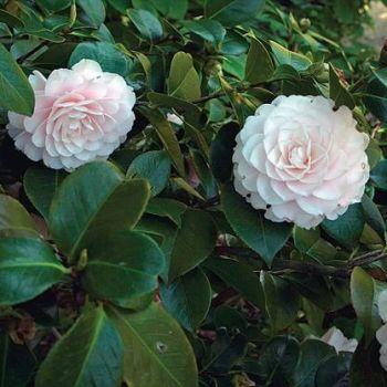 Camellia Oil (2307)