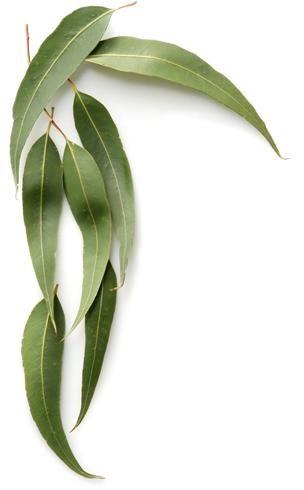 Eucalyptus (Globulus) Oil