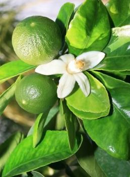 Mandarin (Green) Oil (2074)