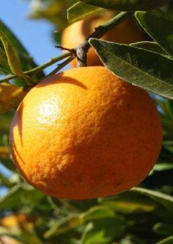 Mandarin (Red) Oil (2075)