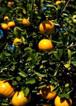 Orange (Sweet) Oil (2089)