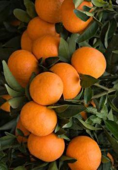 Tangerine Oil (2110)