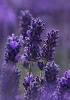Lavender Shampoo (3326)
