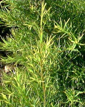 Tea Tree Shampoo (3060)