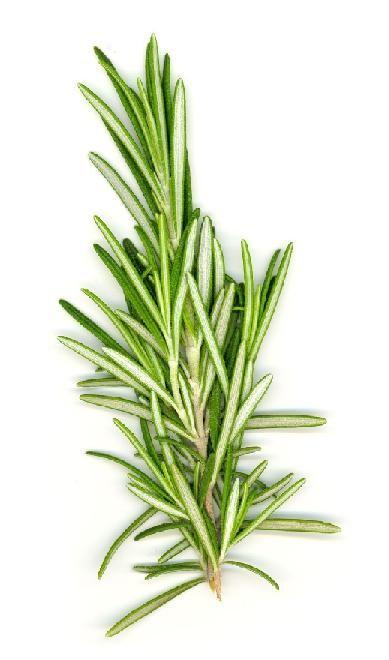 Organic Rosemary Oil 5ml