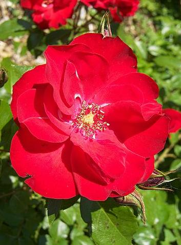 rose (turkey)