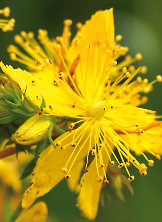 st johns wort oil