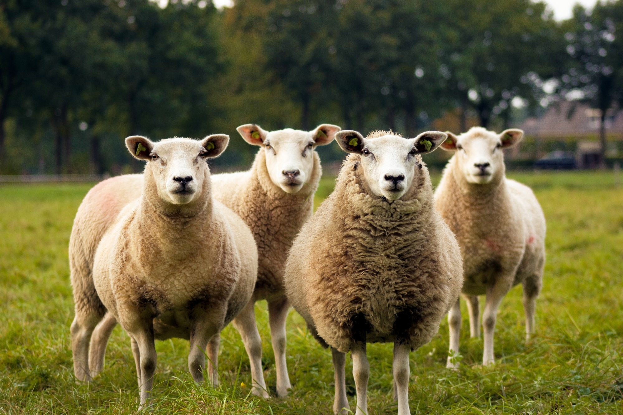 Livestock food