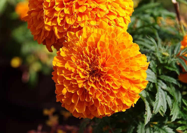E18.09.15 - 15th September - Harrogate Autumn Flower Show