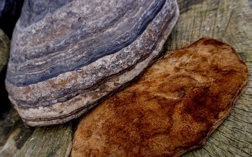 Amadou amd horse hoof fungus by Beaver Bushcraft